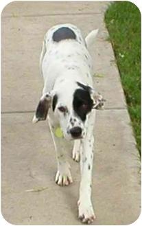 Dalmatian Mix Dog for adoption in Milwaukee, Wisconsin - Whisper