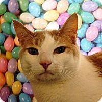 Adopt A Pet :: Stubby - Albany, NY