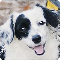 Adopt A Pet :: Spot - Kingwood, TX