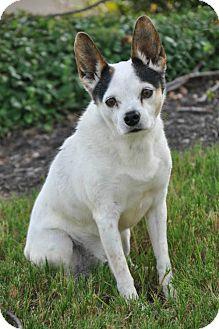 Rat Terrier Mix Dog for adoption in Brighton, Tennessee - Landon (GAPR/TN foster)
