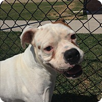 Boxer Dog for adoption in Austin, Texas - Yeti