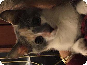 Domestic Shorthair Kitten for adoption in Flint HIll, Virginia - Madison
