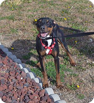 Manchester Terrier Mix Dog for adoption in Larned, Kansas - Zelda