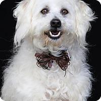 Adopt A Pet :: Benji - SAN PEDRO, CA