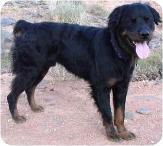 Rottweiler Dog for adoption in Hurricane, Utah - Bear
