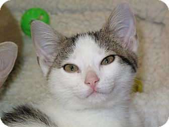 Domestic Shorthair Cat for adoption in Port Republic, Maryland - Babee