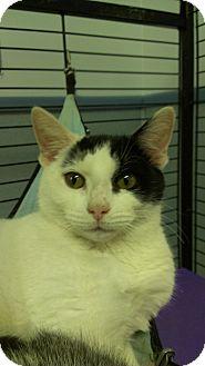 Domestic Shorthair Cat for adoption in Richboro, Pennsylvania - Kelly Osbourne