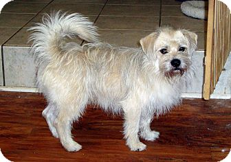 Wirehaired Fox Terrier Mix Dog for adoption in Daleville, Alabama - Sparky