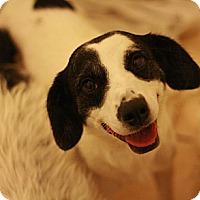 Adopt A Pet :: Gucci - Canoga Park, CA