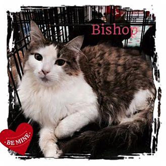Maine Coon Kitten for adoption in Harrisburg, North Carolina - Bishop