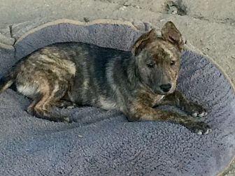 Boxer/German Shepherd Dog Mix Puppy for adoption in Long Beach, California - Oliver