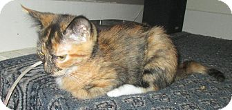 Domestic Shorthair Cat for adoption in Mebane, North Carolina - Chrissy