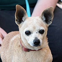 Chihuahua Mix Dog for adoption in Palmdale, California - Munchkin