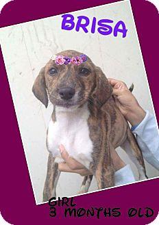 Labrador Retriever/Retriever (Unknown Type) Mix Puppy for adoption in LAKEWOOD, California - Brisa