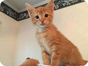 Domestic Shorthair Kitten for adoption in Burlington, North Carolina - CARL