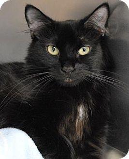 Domestic Longhair Cat for adoption in Spokane, Washington - Maeci