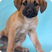 Adopt A Pet :: Weezer - Waldorf, MD