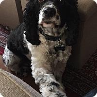 Adopt A Pet :: Bailey - Alhambra, CA