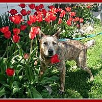 Australian Cattle Dog Dog for adoption in New Richmond,, Wisconsin - Benjamin