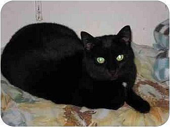 Domestic Shorthair Cat for adoption in New Carlisle, Ohio - Shiney Shirley