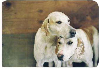 Foxhound Dog for adoption in Toledo, Ohio - LIMBO