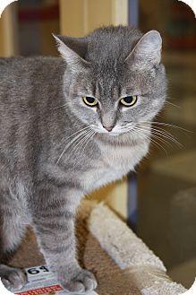 Domestic Shorthair Cat for adoption in Phoenix, Arizona - Tiffy
