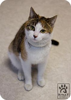 Domestic Shorthair Cat for adoption in Lancaster, Massachusetts - Alice
