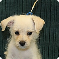 Adopt A Pet :: Chunky Monkey - Broomfield, CO