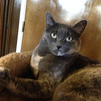 Domestic Shorthair Cat for adoption in Los Angeles, California - Calliope