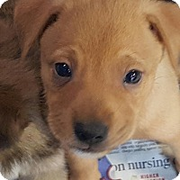 Adopt A Pet :: EBONY RED BOY - Pompton Lakes, NJ