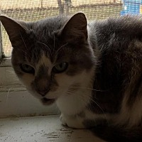 Domestic Shorthair Cat for adoption in Bourbonnais, Illinois - midge
