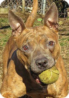 Pit Bull Terrier Mix Dog for adoption in West Babylon, New York - Clover
