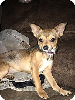 Chihuahua Mix Dog for adoption in Ellaville, Georgia - Trixie (adoption pending)
