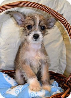 Chinese Crested Puppy for adoption in Westport, Connecticut - *Rupert - PENDING