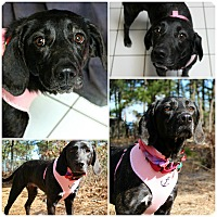 Adopt A Pet :: Brandy - Forked River, NJ