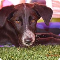 Adopt A Pet :: Shadow- Indian Pariah pup - Monroe, NJ