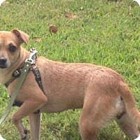 Chihuahua Mix Dog for adoption in Holmes Beach, Florida - Charlotte