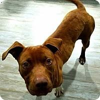 Adopt A Pet :: Brownie - Harrisville, RI