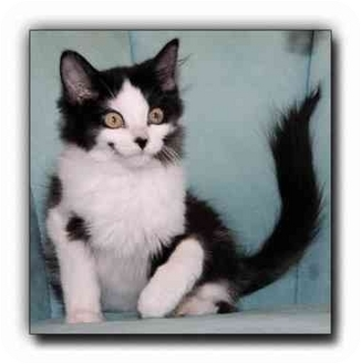 Domestic Shorthair Kitten for adoption in Howell, Michigan - Rudy