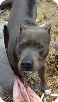 Pit Bull Terrier Mix Dog for adoption in Wanaque, New Jersey - Nitro