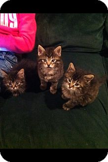 Maine Coon Kitten for adoption in Southington, Connecticut - Maine Coon