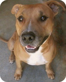 Pit Bull Terrier/Labrador Retriever Mix Dog for adoption in Tahlequah, Oklahoma - Pete