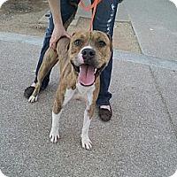 Adopt A Pet :: Striker - Scottsdale, AZ