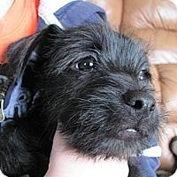 Adopt A Pet :: Chico - Harrisburgh, PA