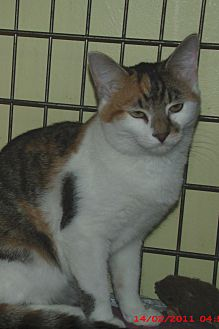 Domestic Shorthair Cat for adoption in Acme, Pennsylvania - LINDSEY