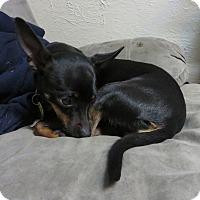 Adopt A Pet :: Mimi - Ft. Collins, CO