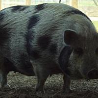 Pig (Potbellied) for adoption in Freeport, Florida - Mama Pigoney