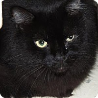 Domestic Longhair Cat for adoption in Westville, Indiana - Zoe aka Pansy