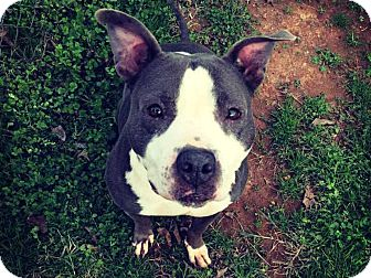 American Pit Bull Terrier Mix Dog for adoption in Charlotte, North Carolina - Annabelle