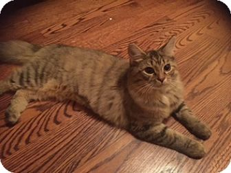 Domestic Longhair Kitten for adoption in Monroe, North Carolina - Taylor